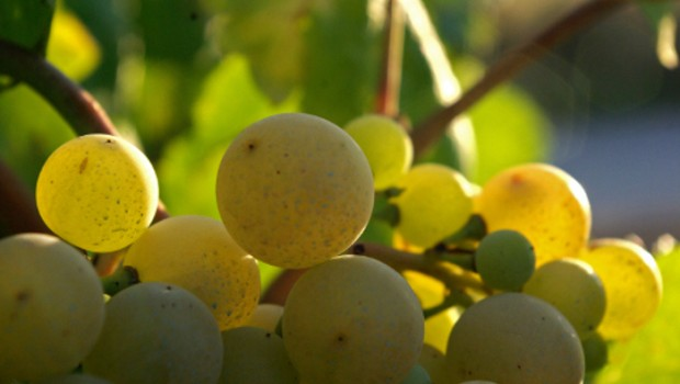 Catalan winemakers specialise in turning this grapes into a delicious Cava.