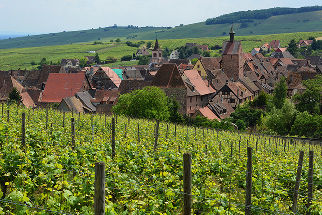 A view over the vineyards into village of Riquewihr, France.