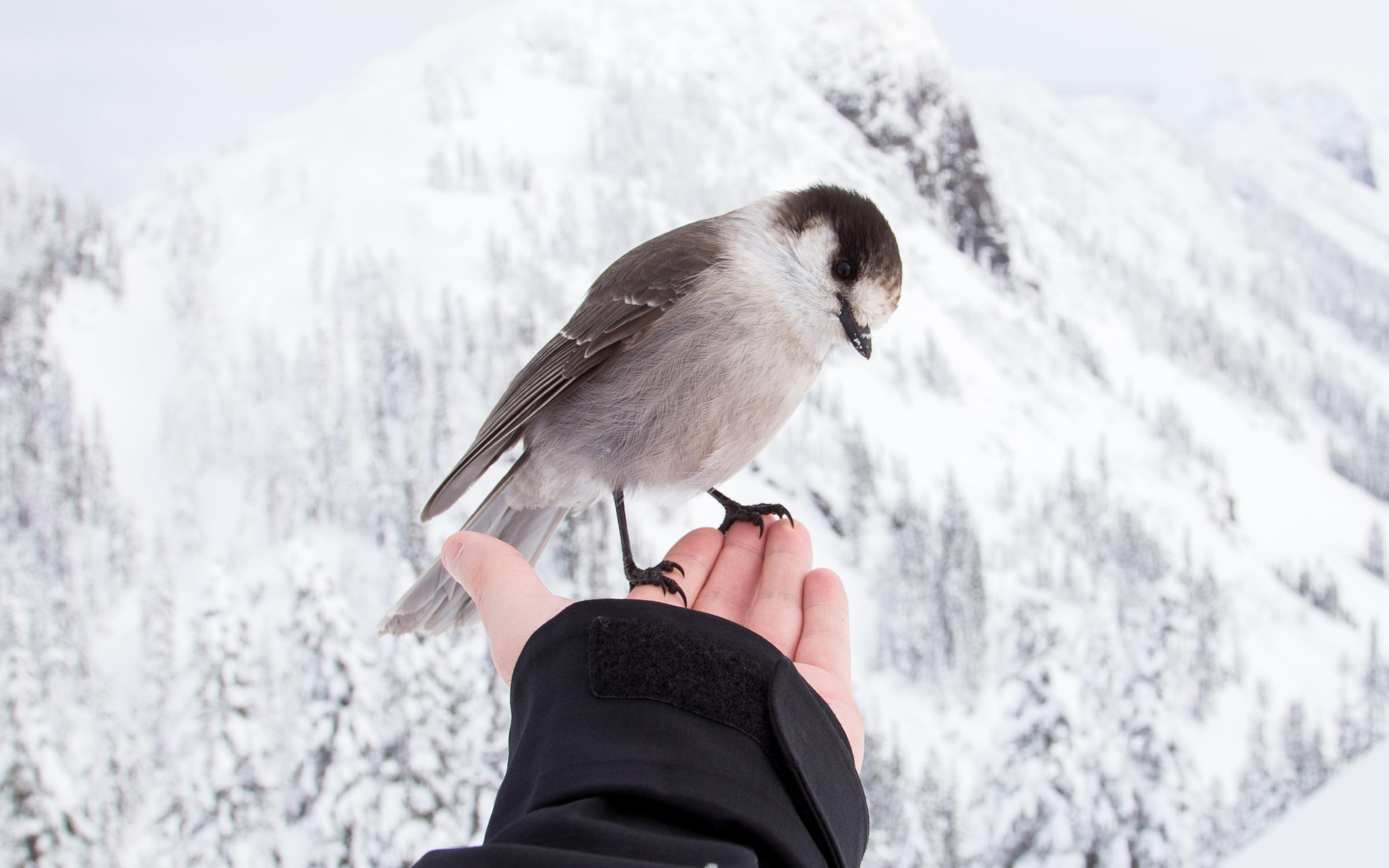 snowybird (2)