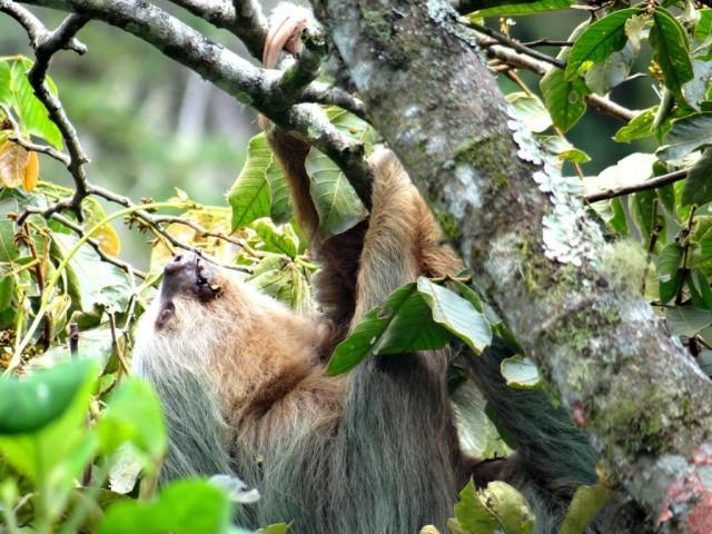 000b67_costarica_Sloth-g