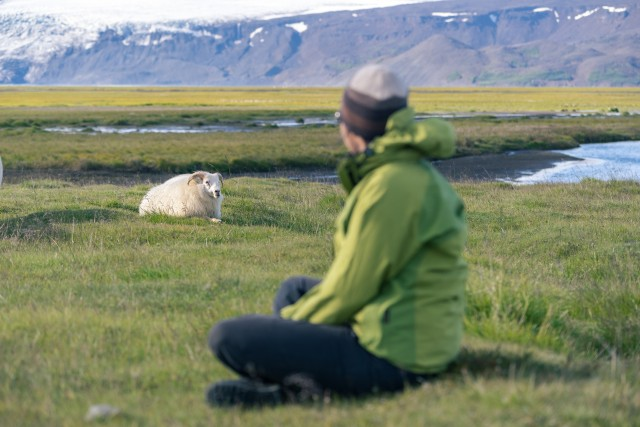 Female tourist with icelandic sheep in mountains.