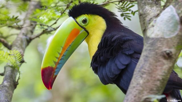 Keel-Billed Toucan (Ramphastos sulfuratus), Limon, Costa Rica.