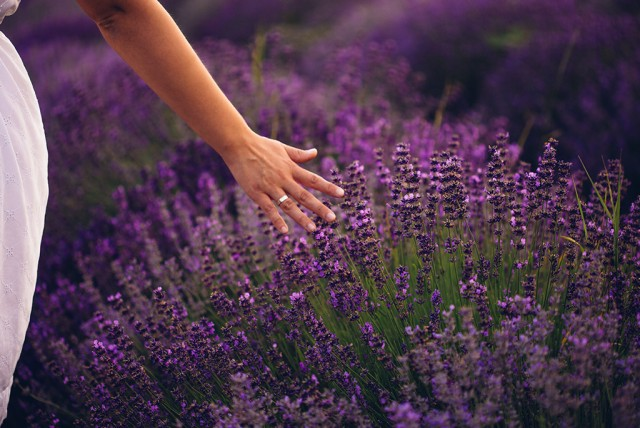 Walking through Provence lavender fields - © AleksandarNakic | iStockPhoto