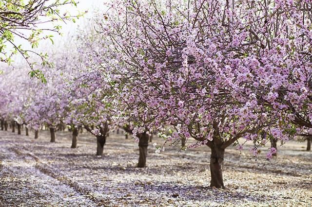 Pink Almond Blossoms - Valencia