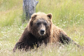 A brown bear taking a time out