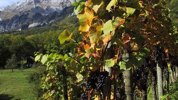 Swiss vineyards give a large choice of grape varieties, although they are still scarcely known abroad.